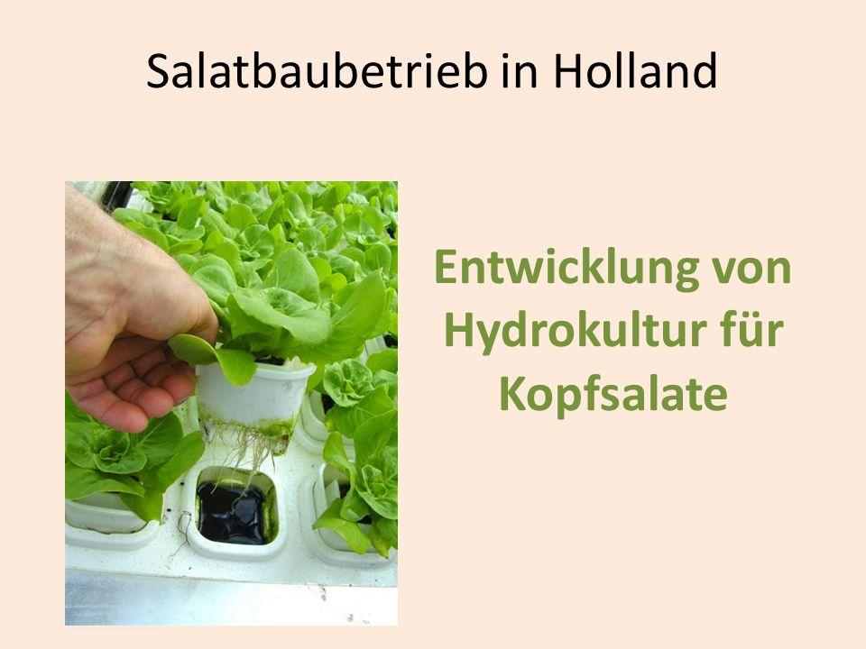Salatbaubetrieb in Holland Entwicklung von Hydrokultur für Kopfsalate