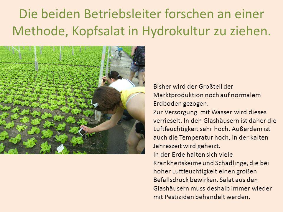 Die beiden Betriebsleiter forschen an einer Methode, Kopfsalat in Hydrokultur zu ziehen. Bisher wird der Großteil der Marktproduktion noch auf normale