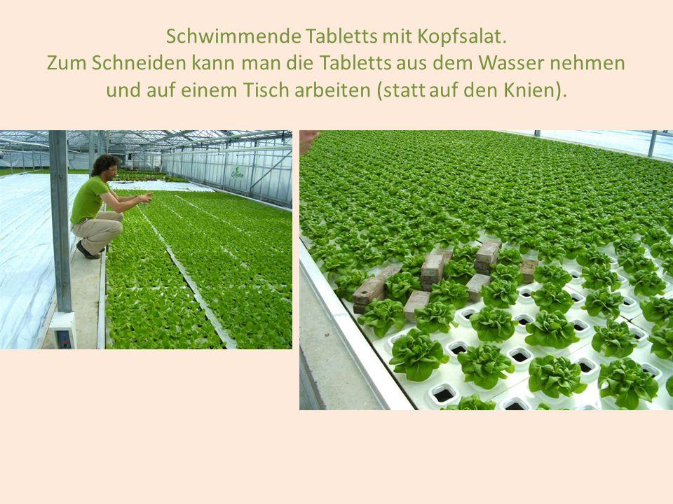 Schwimmende Tabletts mit Kopfsalat. Zum Schneiden kann man die Tabletts aus dem Wasser nehmen und auf einem Tisch arbeiten (statt auf den Knien).