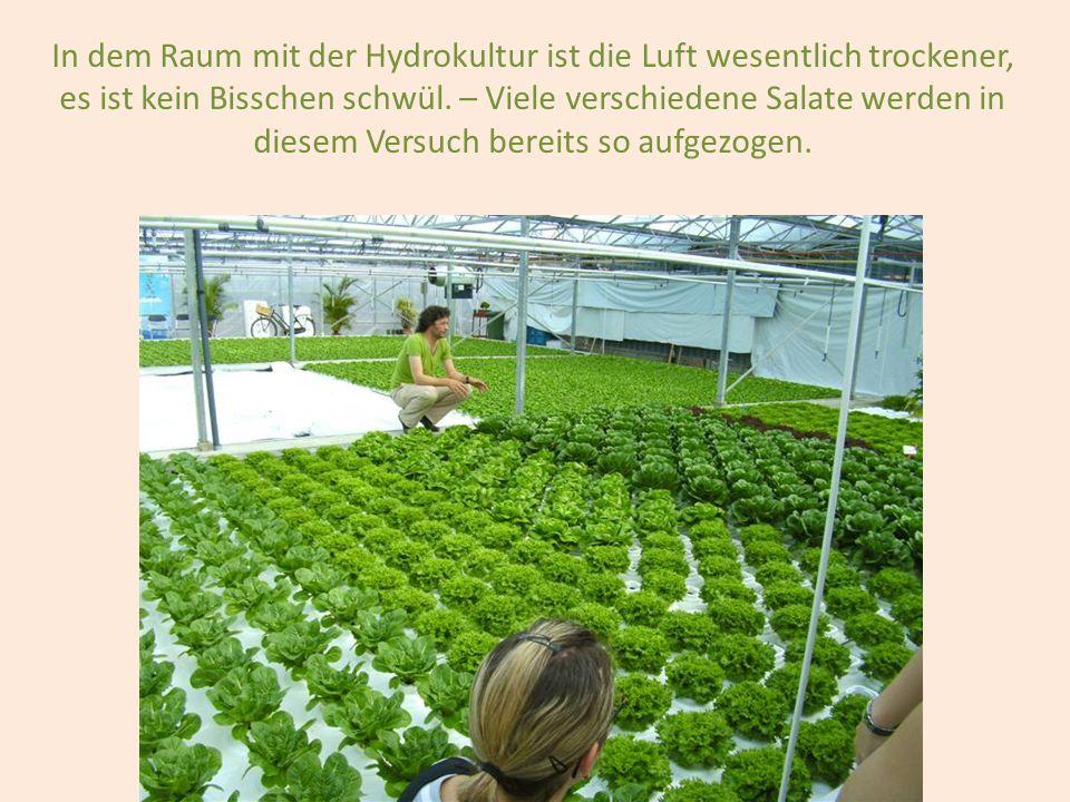 In dem Raum mit der Hydrokultur ist die Luft wesentlich trockener, es ist kein Bisschen schwül. – Viele verschiedene Salate werden in diesem Versuch b