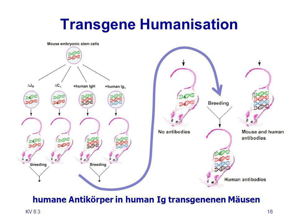 KV 8.316 Transgene Humanisation humane Antikörper in human Ig transgenenen Mäusen