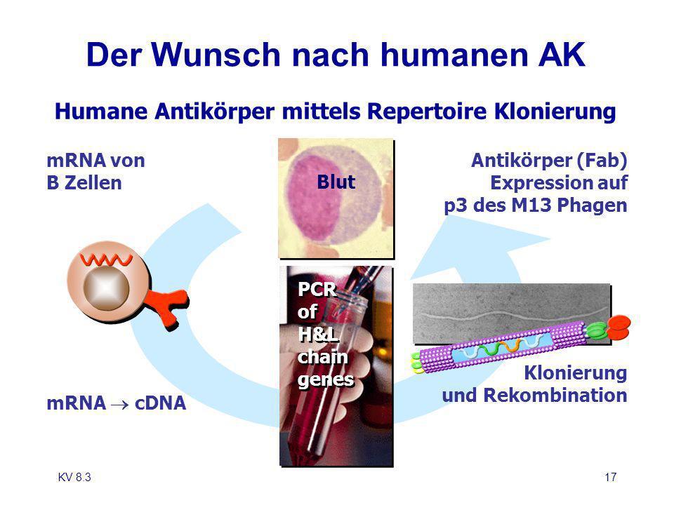 KV 8.317 Der Wunsch nach humanen AK mRNA von B Zellen mRNA cDNA PCR of H&L chain genes PCR of H&L chain genes Blut Antikörper (Fab) Expression auf p3
