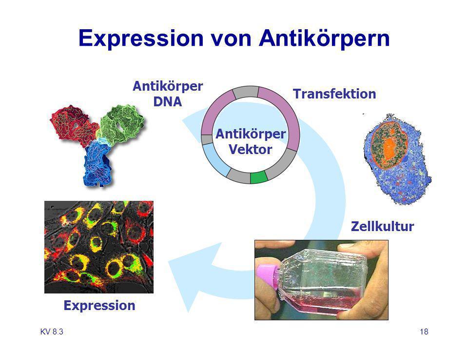 KV 8.318 Expression von Antikörpern Antikörper DNA Antikörper Vektor Transfektion Zellkultur Expression