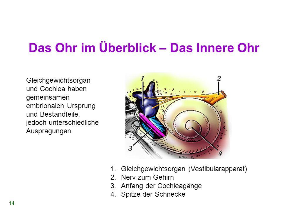 13 Die Mechanik des Mittelohrs Einfangen der Schallwellen am Trommelfell Wirkungsvolle Übertragung auf die Flüssigkeiten im Innenohr Verstärkung beson