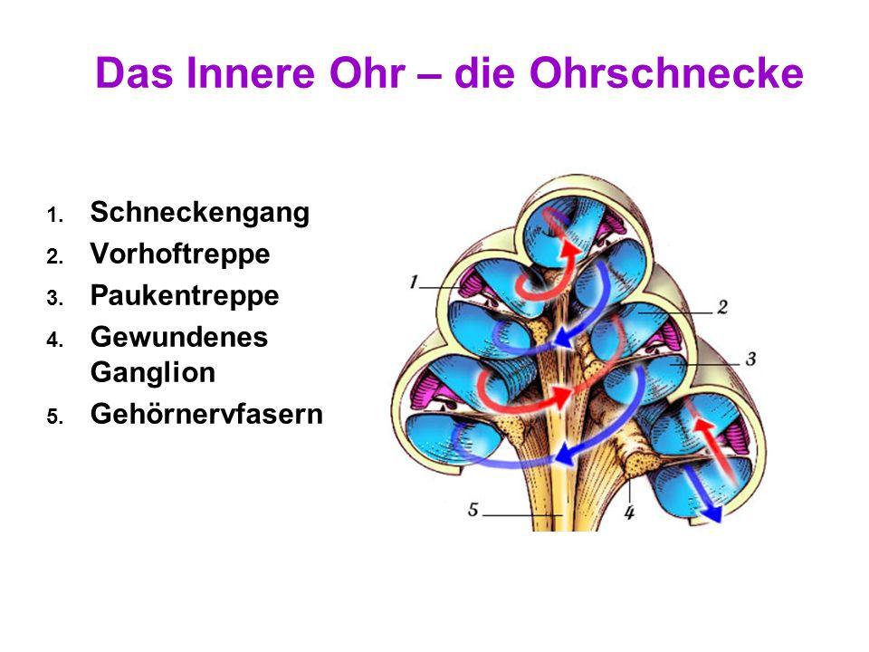 15 Das Innere Ohr – Der Vestibularapparat Aufgaben: Erfassung von Drehbewegung – In Erweiterungen der Bogengänge – Keine orthogonale Ausrichtung für b