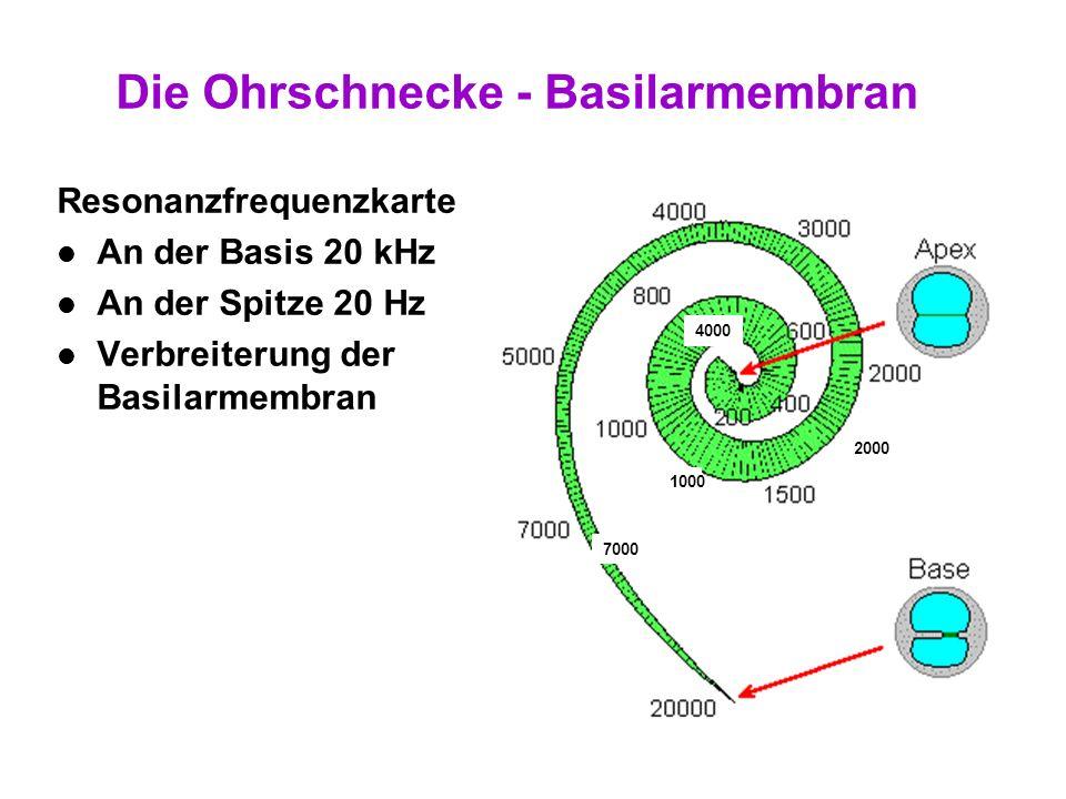 18 Die Ohrschnecke - Basilarmembran Eigenschaften der Basilarmembran – Abnehmende Spannung – Zunehmende Breite => größere Querschnitt / mehr Flüssigke