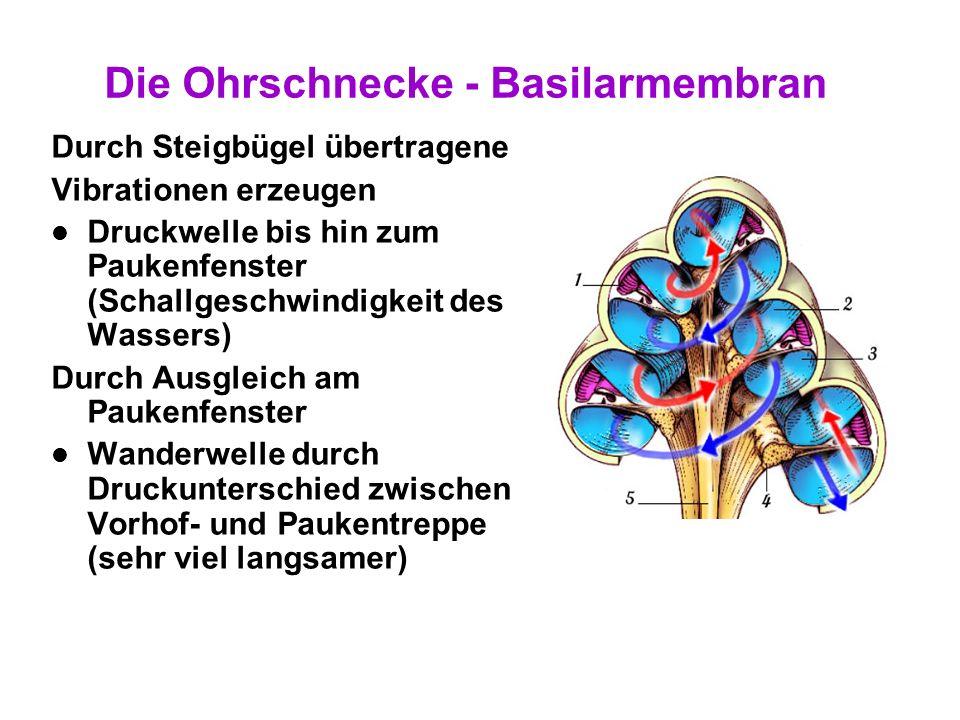 19 Die Ohrschnecke - Basilarmembran Resonanzfrequenzkarte An der Basis 20 kHz An der Spitze 20 Hz Verbreiterung der Basilarmembran 7000 4000 2000 1000