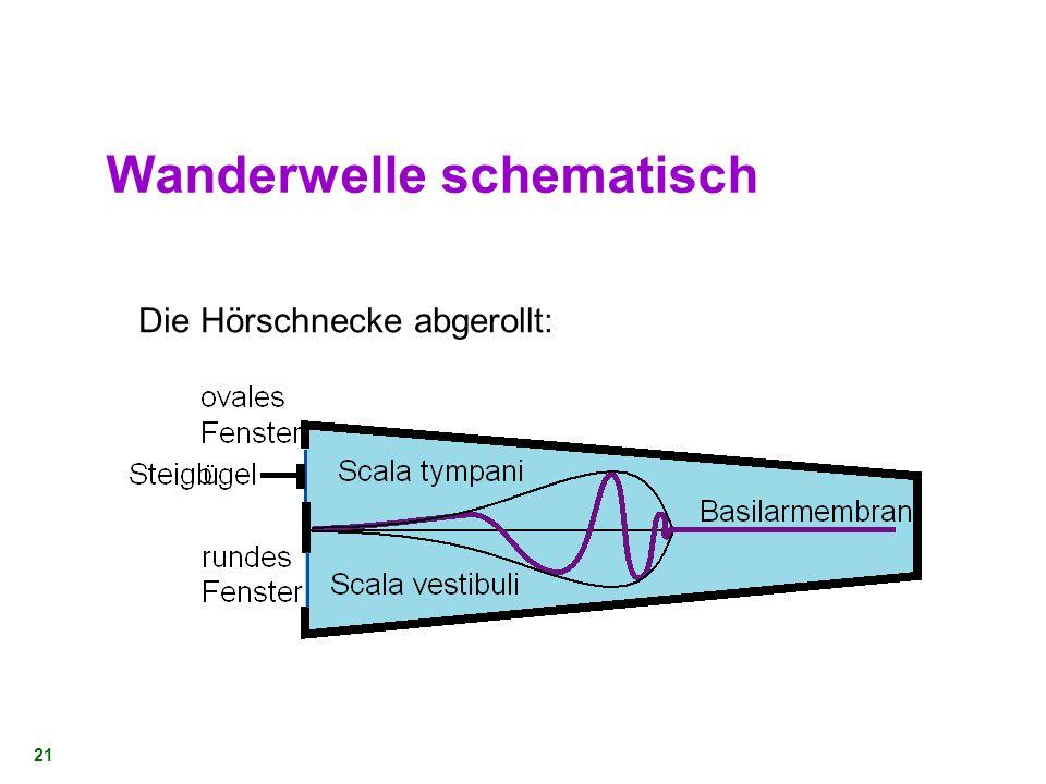 20 Die Ohrschnecke - Basilarmembran Durch Steigbügel übertragene Vibrationen erzeugen Druckwelle bis hin zum Paukenfenster (Schallgeschwindigkeit des