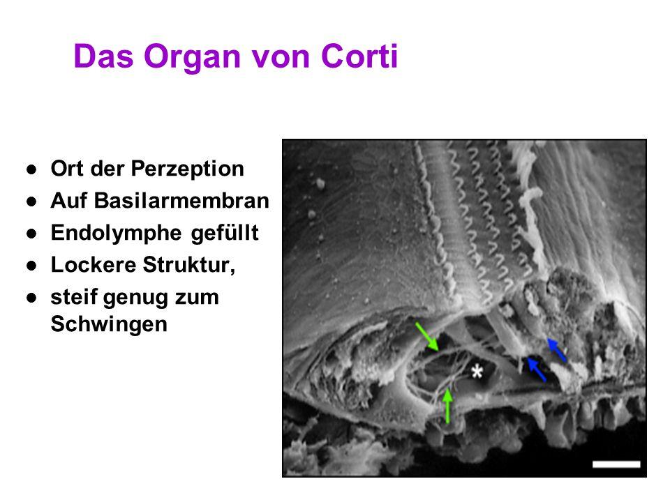 23 Das Organ von Corti 1. Schneckengang 2. Vorhoftreppe 3. Paukentreppe 4. Reissners Membran 5. Basilarmembran 6. Tektorische Membran 7. Stria Vascula