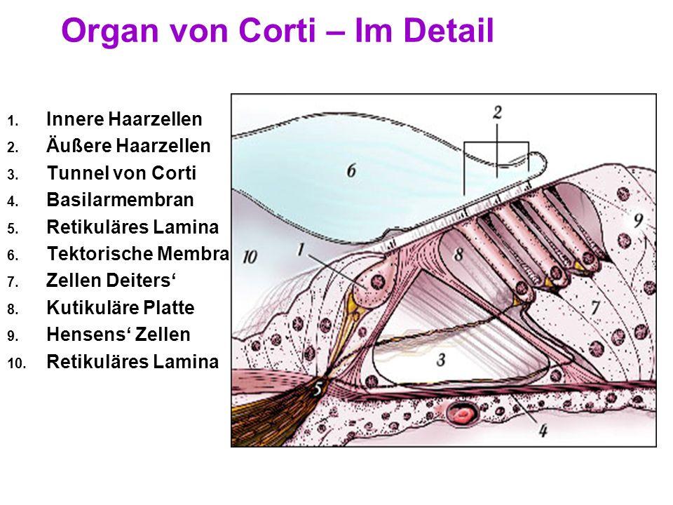 24 Das Organ von Corti Ort der Perzeption Auf Basilarmembran Endolymphe gefüllt Lockere Struktur, steif genug zum Schwingen