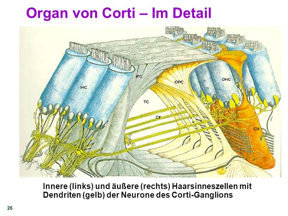 25 Organ von Corti – Im Detail 1. Innere Haarzellen 2. Äußere Haarzellen 3. Tunnel von Corti 4. Basilarmembran 5. Retikuläres Lamina 6. Tektorische Me