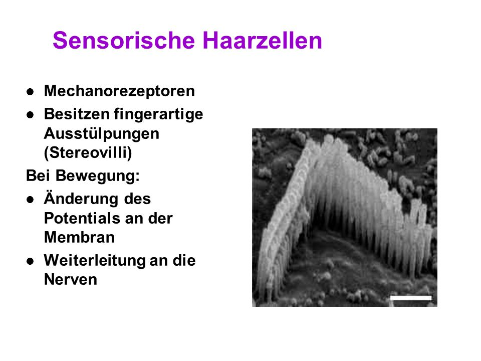 27 Das Organ von Corti in Schwingung Schwingende Basilarmembran Bewegt darauf liegendes Cortisches Organ Höhere Festigkeit der Tektorischen Membran bi