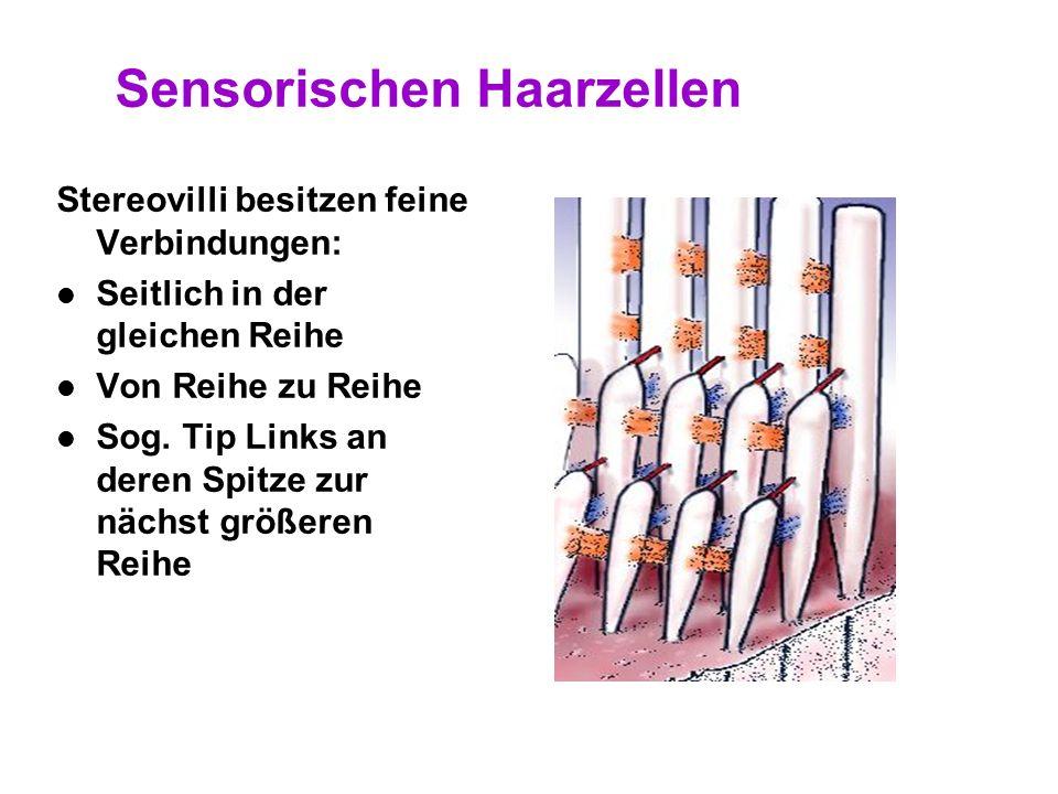 30 Sensorische Haarzellen Innere Haarzellen – Stereovilli in Linie Äußere Haarzellen – Stereovilli in W- Form 1.Zellkern 2.Stereovilli 3.Kutikuläre Pl