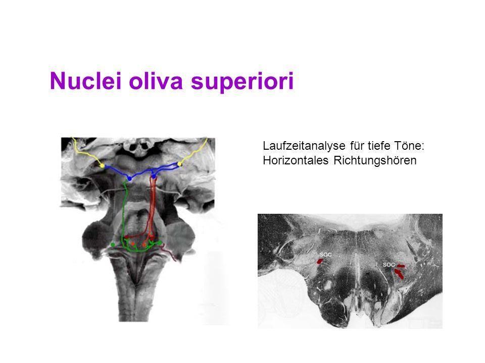 47 Nucleus Cochlearis Erste Verarbeitung und Umschaltung Aufteilung: - ventral (Verbesserte Phasenkopplung, Weitergabe nur wenig veränderter Informati