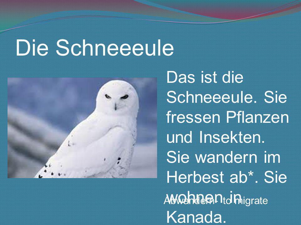 Die Schneeeule Das ist die Schneeeule. Sie fressen Pflanzen und Insekten. Sie wandern im Herbest ab*. Sie wohnen in Kanada. Abwandern- to migrate