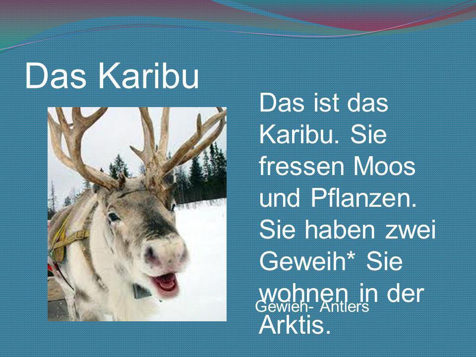 Das Karibu Das ist das Karibu. Sie fressen Moos und Pflanzen. Sie haben zwei Geweih* Sie wohnen in der Arktis. Gewieh- Antlers