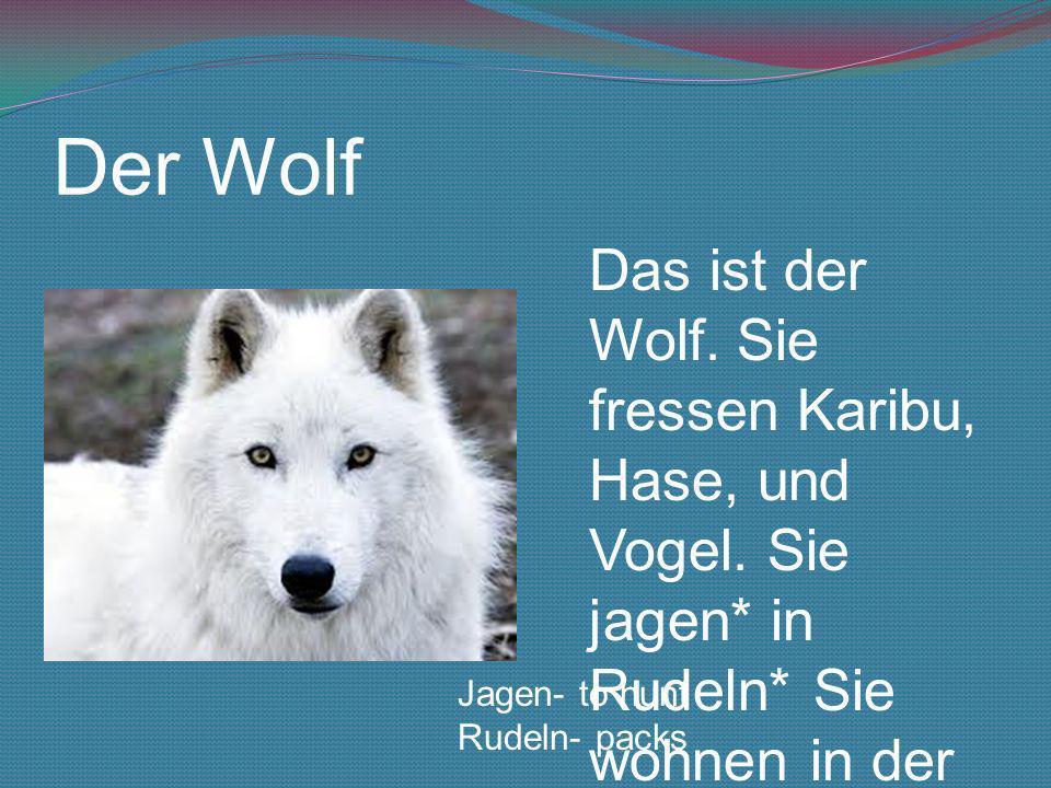 Der Wolf Das ist der Wolf. Sie fressen Karibu, Hase, und Vogel. Sie jagen* in Rudeln* Sie wohnen in der kanadische Arktis. Jagen- to hunt Rudeln- pack