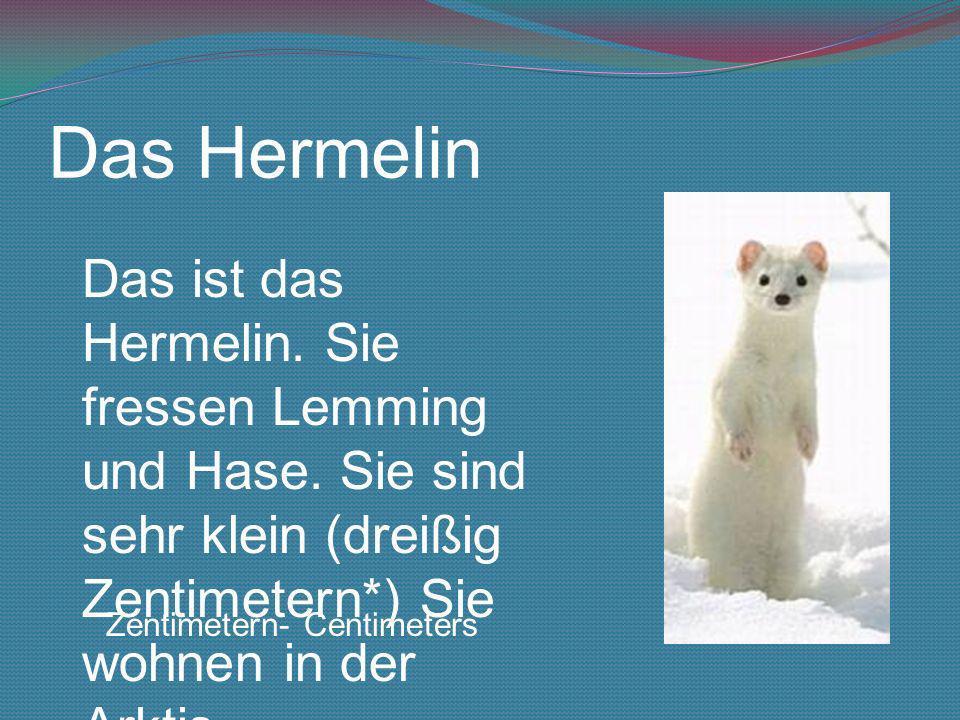 Das Hermelin Das ist das Hermelin. Sie fressen Lemming und Hase. Sie sind sehr klein (dreißig Zentimetern*) Sie wohnen in der Arktis. Zentimetern- Cen