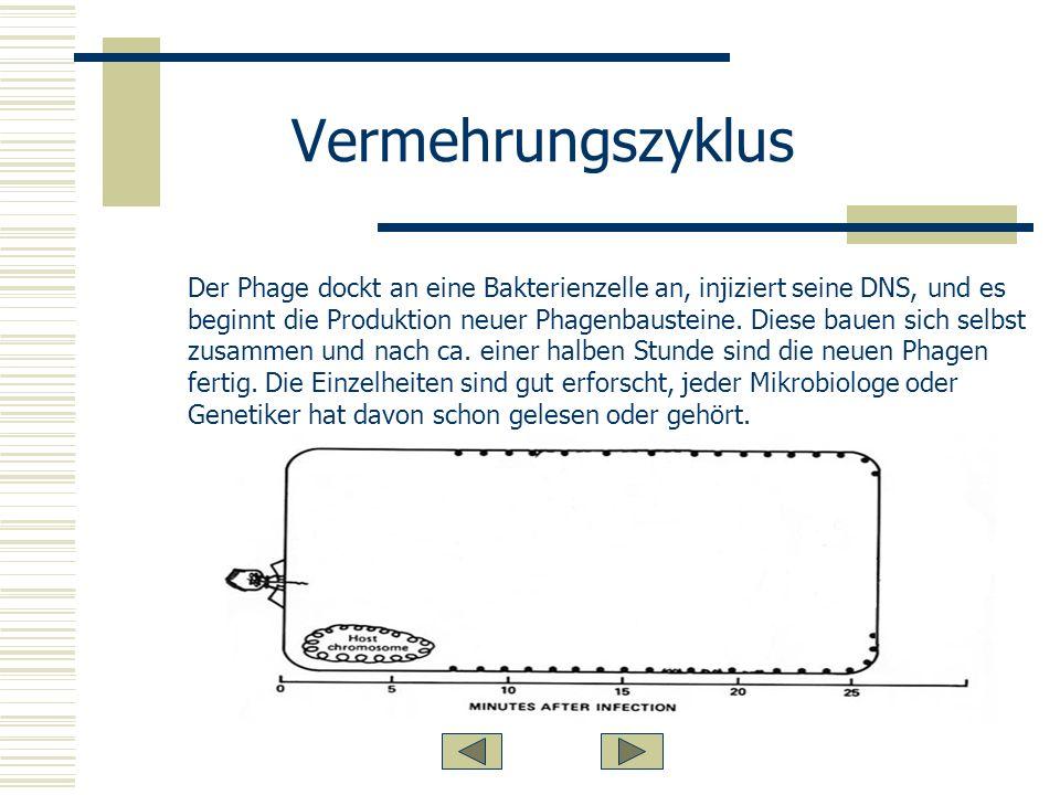Vermehrungszyklus Der Phage dockt an eine Bakterienzelle an, injiziert seine DNS, und es beginnt die Produktion neuer Phagenbausteine.