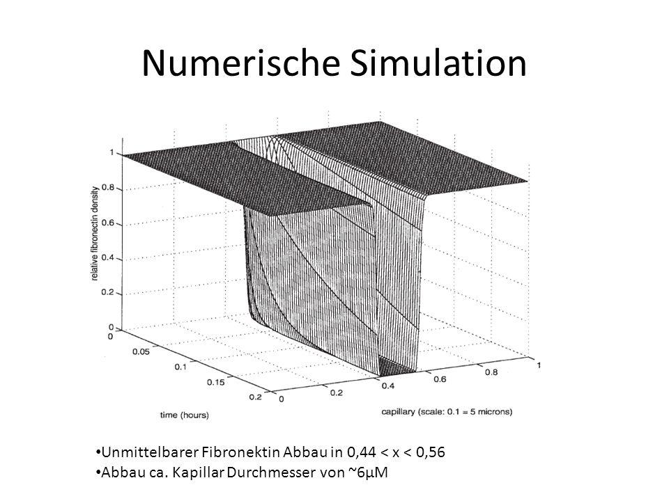 Numerische Simulation Unmittelbarer Fibronektin Abbau in 0,44 < x < 0,56 Abbau ca.