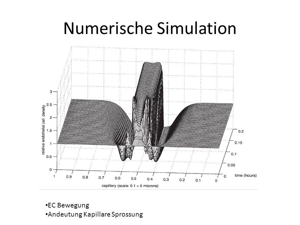 Numerische Simulation EC Bewegung Andeutung Kapillare Sprossung