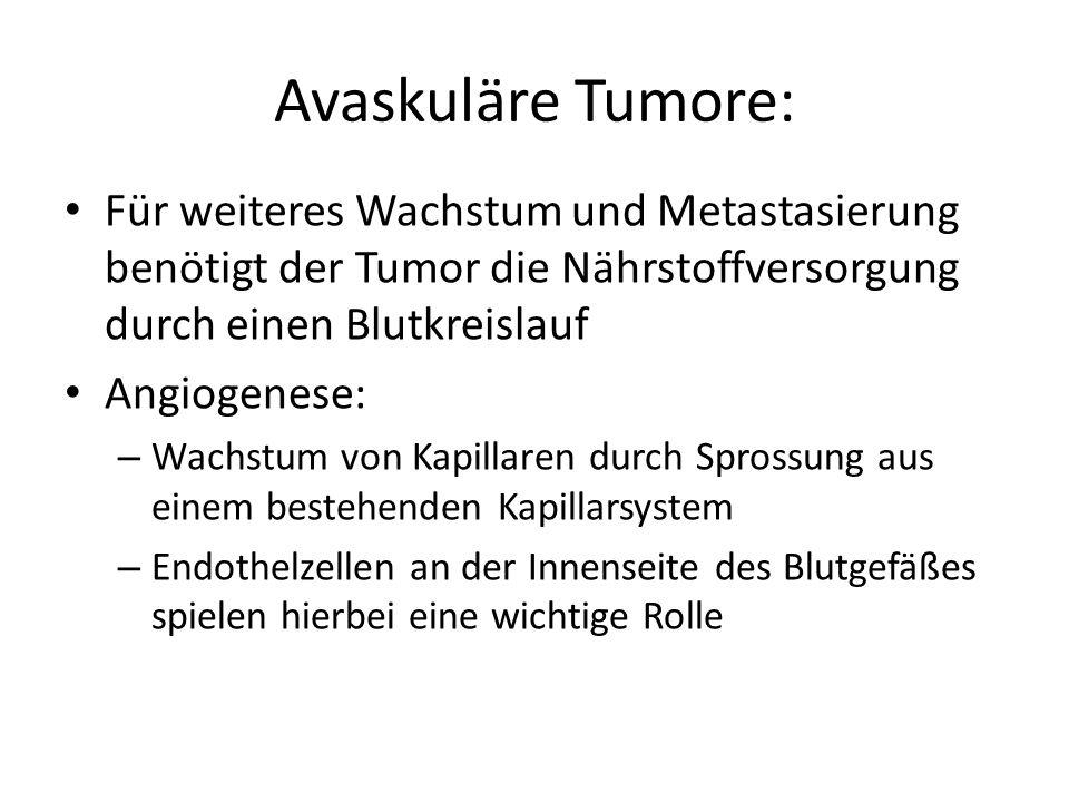 Avaskuläre Tumore: Für weiteres Wachstum und Metastasierung benötigt der Tumor die Nährstoffversorgung durch einen Blutkreislauf Angiogenese: – Wachstum von Kapillaren durch Sprossung aus einem bestehenden Kapillarsystem – Endothelzellen an der Innenseite des Blutgefäßes spielen hierbei eine wichtige Rolle