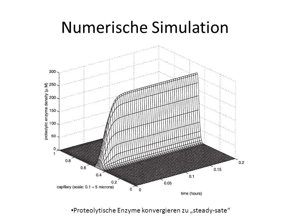 Numerische Simulation Proteolytische Enzyme konvergieren zu steady-sate