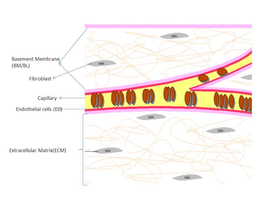 Basement Membrane (BM/BL) Capillary Endothelial cells (EC) Fibroblast Extracellular Matrix(ECM)
