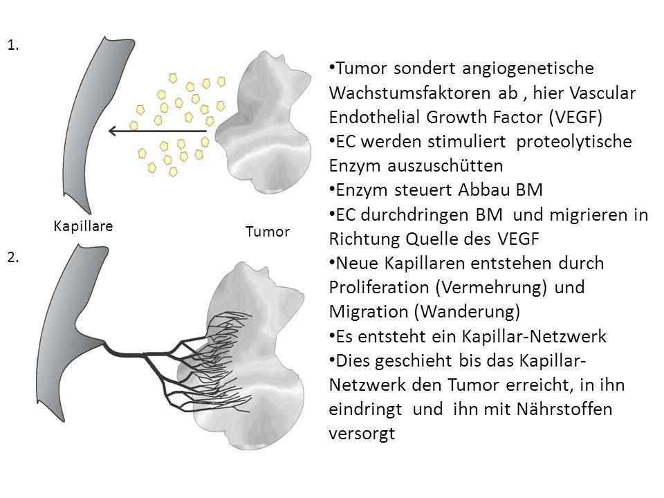 Tumor Kapillare 1.2.