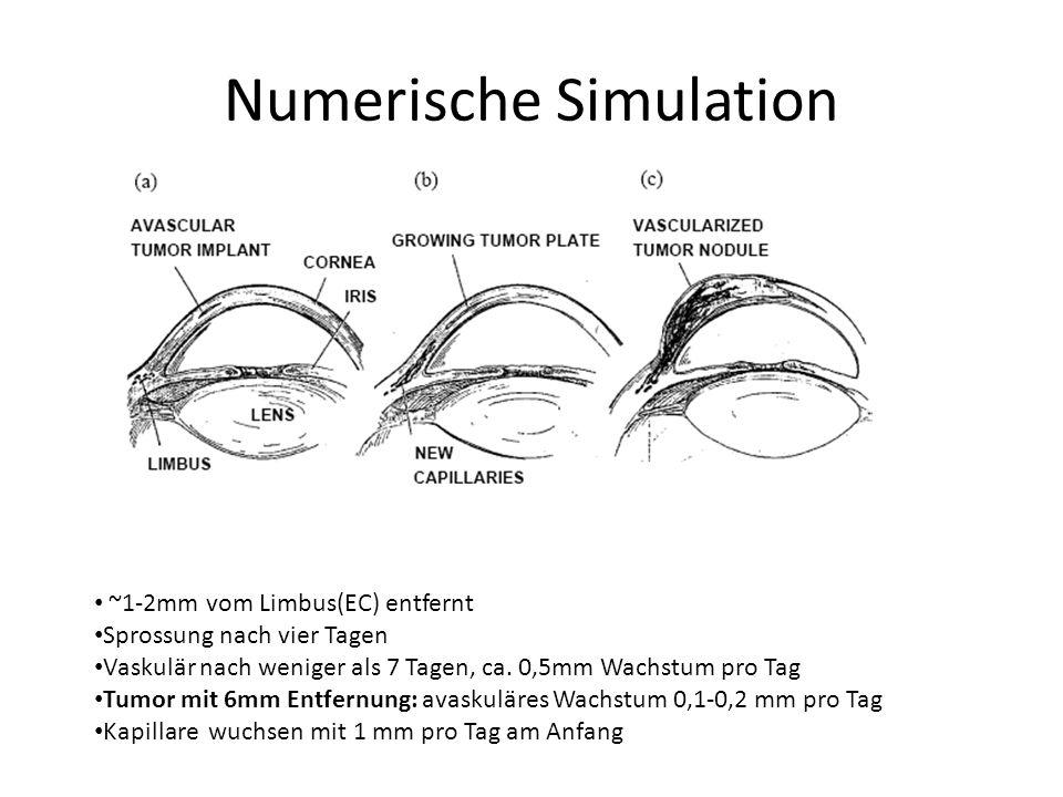 ~1-2mm vom Limbus(EC) entfernt Sprossung nach vier Tagen Vaskulär nach weniger als 7 Tagen, ca.