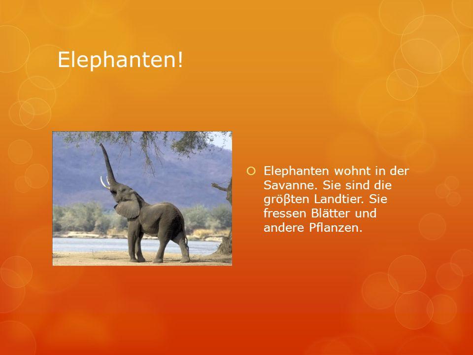 Elephanten! Elephanten wohnt in der Savanne. Sie sind die gröβten Landtier. Sie fressen Blätter und andere Pflanzen.