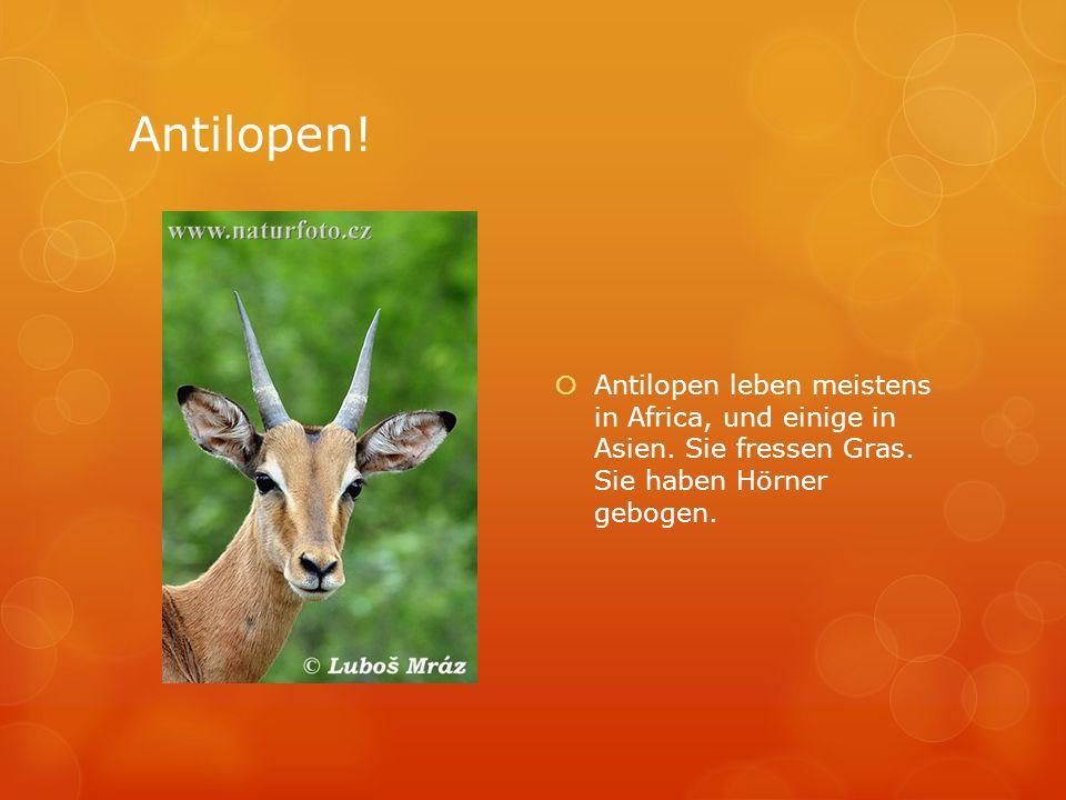 Antilopen! Antilopen leben meistens in Africa, und einige in Asien. Sie fressen Gras. Sie haben Hörner gebogen.