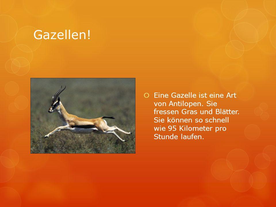 Gazellen! Eine Gazelle ist eine Art von Antilopen. Sie fressen Gras und Blätter. Sie können so schnell wie 95 Kilometer pro Stunde laufen.