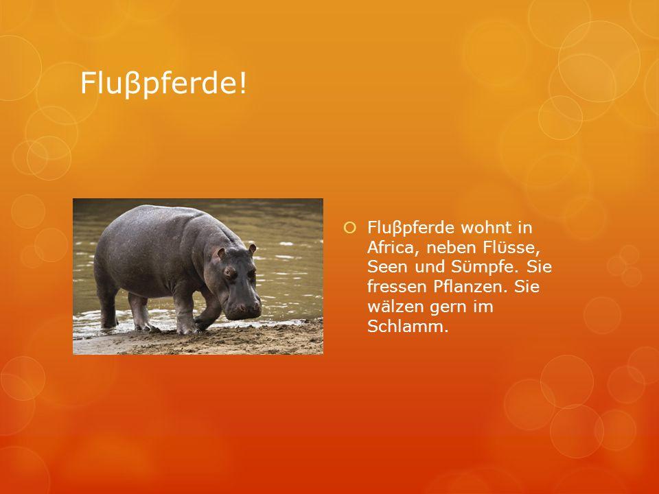 Fluβpferde! Fluβpferde wohnt in Africa, neben Flϋsse, Seen und Sϋmpfe. Sie fressen Pflanzen. Sie wälzen gern im Schlamm.