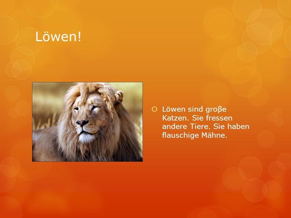 Löwen! Löwen sind groβe Katzen. Sie fressen andere Tiere. Sie haben flauschige Mähne.