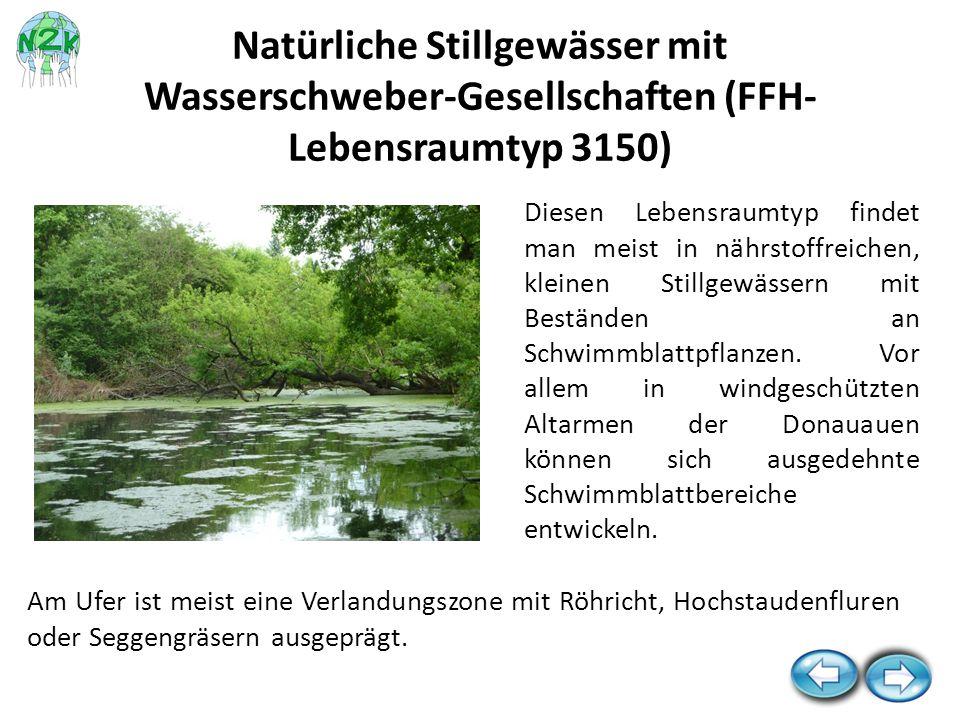 Diesen Lebensraumtyp findet man meist in nährstoffreichen, kleinen Stillgewässern mit Beständen an Schwimmblattpflanzen. Vor allem in windgeschützten