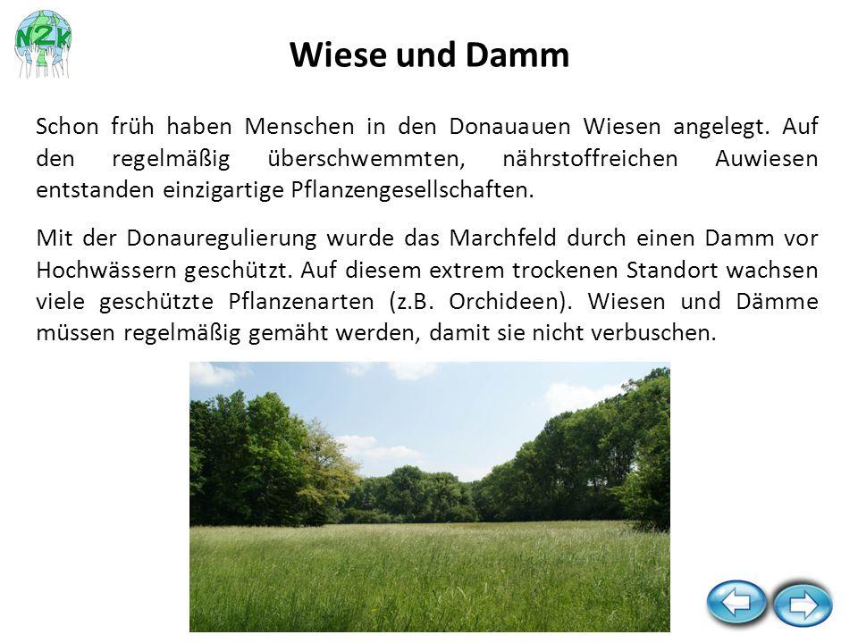 Schon früh haben Menschen in den Donauauen Wiesen angelegt. Auf den regelmäßig überschwemmten, nährstoffreichen Auwiesen entstanden einzigartige Pflan
