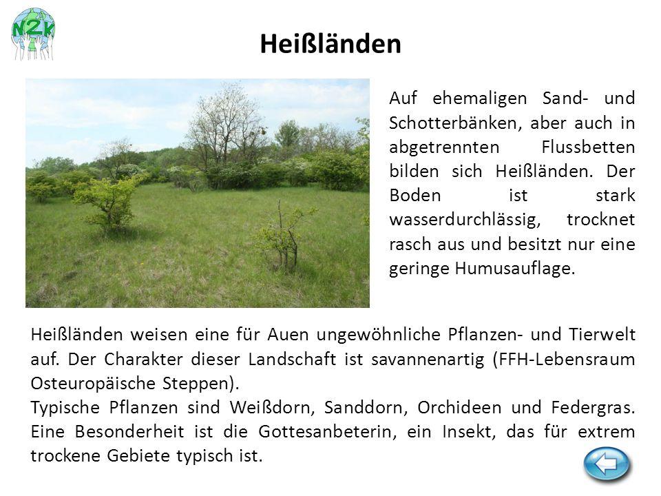Auf ehemaligen Sand- und Schotterbänken, aber auch in abgetrennten Flussbetten bilden sich Heißländen. Der Boden ist stark wasserdurchlässig, trocknet
