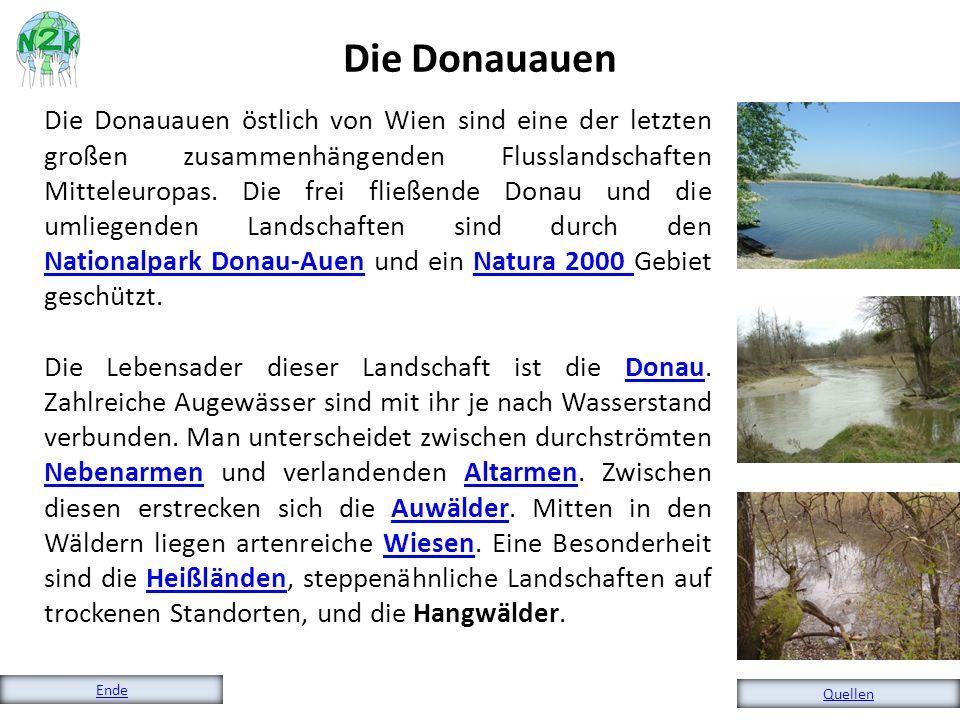 Die Donauauen östlich von Wien sind eine der letzten großen zusammenhängenden Flusslandschaften Mitteleuropas. Die frei fließende Donau und die umlieg