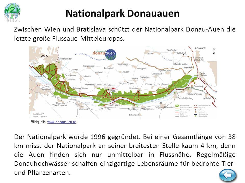 Zwischen Wien und Bratislava schützt der Nationalpark Donau-Auen die letzte große Flussaue Mitteleuropas. Der Nationalpark wurde 1996 gegründet. Bei e