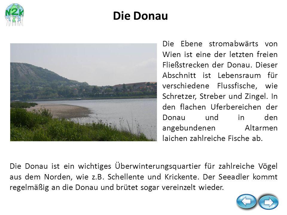 Die Donau ist ein wichtiges Überwinterungsquartier für zahlreiche Vögel aus dem Norden, wie z.B. Schellente und Krickente. Der Seeadler kommt regelmäß