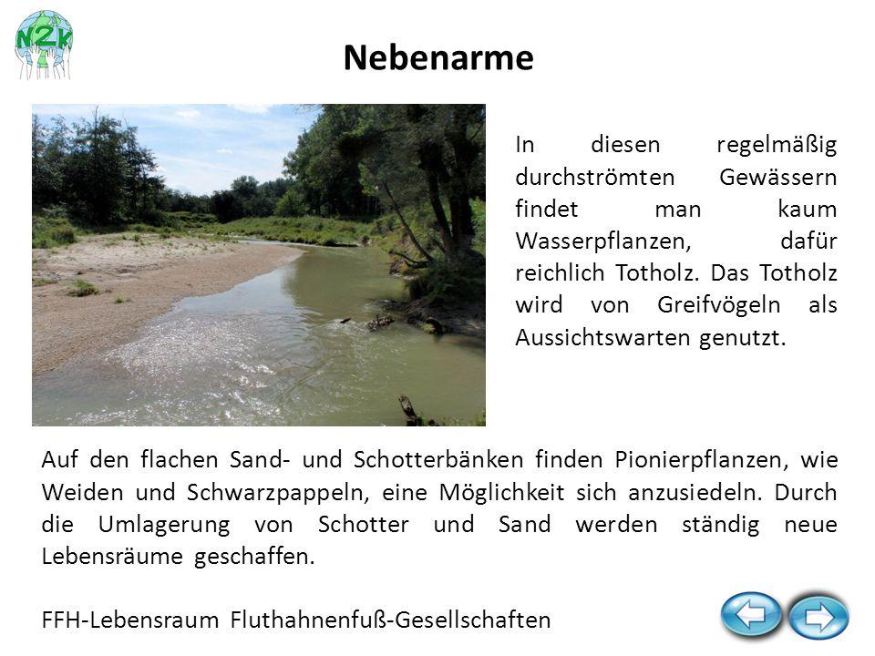 Auf den flachen Sand- und Schotterbänken finden Pionierpflanzen, wie Weiden und Schwarzpappeln, eine Möglichkeit sich anzusiedeln. Durch die Umlagerun