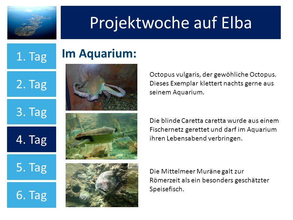 Projektwoche auf Elba Im Aquarium: Projektwoche auf Elba 1. Tag 2. Tag 3. Tag 4. Tag 5. Tag 6. Tag Octopus vulgaris, der gewöhliche Octopus. Dieses Ex