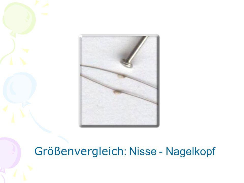 Größenvergleich : Nisse - Nagelkopf