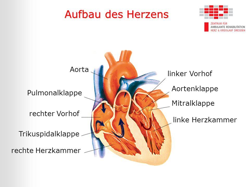 Aufbau des Herzens Aorta Pulmonalklappe rechter Vorhof Trikuspidalklappe rechte Herzkammer linker Vorhof Aortenklappe Mitralklappe linke Herzkammer