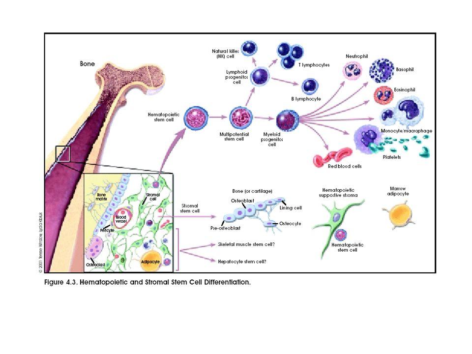 Krankheitsentwicklung Infiltration des Knochenmarks