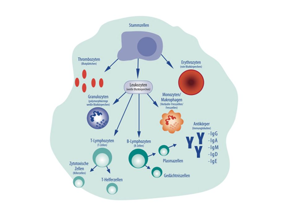 Laboruntersuchungen Anämie, Leukopenie, Thrombopenie Immunfixation pathologisch: Immunglobuline und/oder Leichtketten erhöht Erhöhtes Calcium Erhöhtes ß-2-Mikroglobulin Erhöhte Nierenwerte Erniedrigtes Albumin Pathologische Elektrophorese Leichtketten im Harn