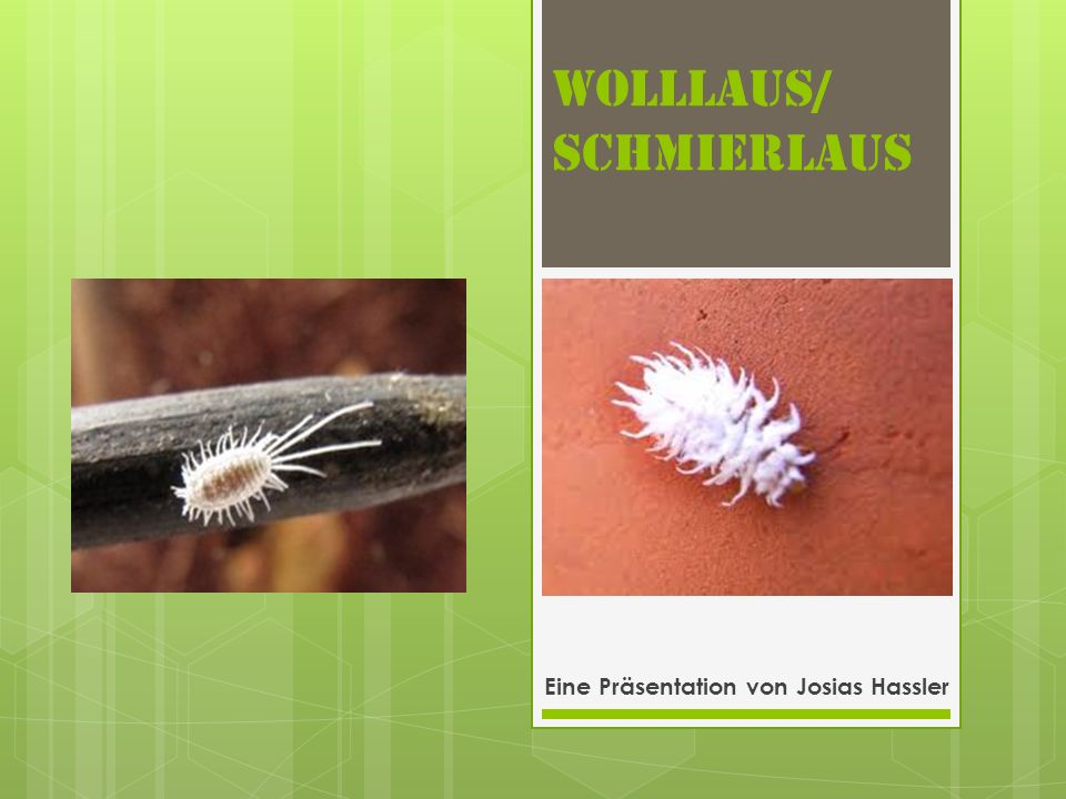 Wolllaus/ Schmierlaus Eine Präsentation von Josias Hassler