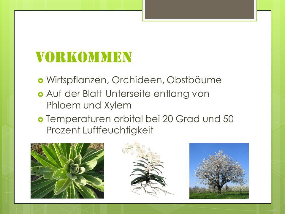 Vorkommen Wirtspflanzen, Orchideen, Obstbäume Auf der Blatt Unterseite entlang von Phloem und Xylem Temperaturen orbital bei 20 Grad und 50 Prozent Lu
