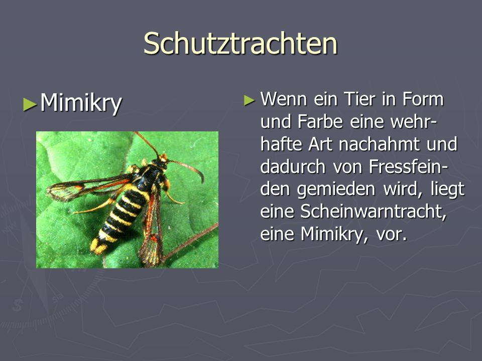 Schutztrachten Mimikry Mimikry Wenn ein Tier in Form und Farbe eine wehr- hafte Art nachahmt und dadurch von Fressfein- den gemieden wird, liegt eine Scheinwarntracht, eine Mimikry, vor.